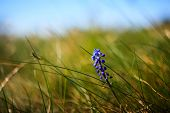 picture of grape  - Flower Muscari neglectum perennial bulbous plant one of a number of species and genera known as Grape Hyacinth and in particular Common Grape Hyacinth - JPG