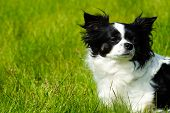 picture of chihuahua  - Chihuahua dog on the green grass with copy space - JPG