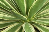 pic of monocots  - spiky variegated agave plant natural floral background - JPG