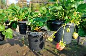 stock photo of strawberry plant  - green strawberry plants in growth at garden - JPG