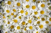 foto of chamomile  - Background of fresh medicinal roman chamomile flowers - JPG