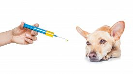 foto of high fever  - chihuahua dog with headache and sick ill or with high fever suffering syringe on its way isolated on white background - JPG