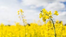 picture of rape-field  - Rape seed crop fields based in the uk  - JPG