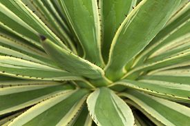 foto of spiky plants  - spiky variegated agave plant natural floral background - JPG
