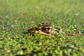 stock photo of winnebago  - Northern Leopard Frog  - JPG