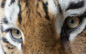 Hermoso Tigre