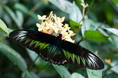 pic of raja  - A Raja Brooke bird wing butterfly resting on a yellow flower - JPG