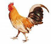 Healthy Rooster