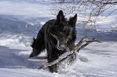 A Young Black Long Fur German Shepard Dog Running Around In A Sunny Winter Day Pet Happiness Canine  poster