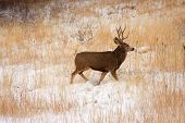 Buck Deer In Th Snow