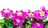 Petunia Floral Frame