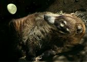 stock photo of coatimundi  - A coatimundi  - JPG