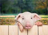 Fence Pig Piglet Baby Animal Young Animal Smile Face Cute Animal poster