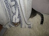 Funy Tabby Cat Hid In A Corner Under White Curtain poster