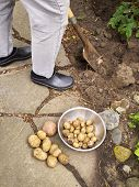 Постер, плакат: Картофель вырыли из сада
