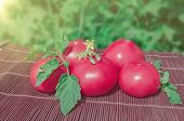 Pink Tomatoes Harvest. poster