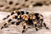 Mexican Red Leg Tarantula