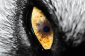picture of seeing eye dog  - A close up photo of a dogs eye - JPG