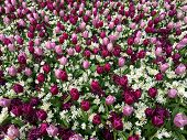 Close-up Violet And Pink Tulips In Beautiful Hyacinth Field. Bulbous Field Violet Tulips Bright Flow poster