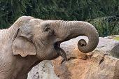 The African Bush Elephant (loxodonta Africana), Also Known As The African Savanna Elephant, Is The L poster