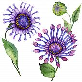 Beautiful Purple Osteospermum (south African Daisy) Flower On A Stem With Green Leaves. Isolated On  poster