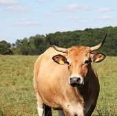 Gentle Parthenaise Cow