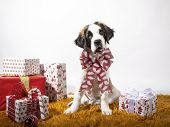 Adorable 4-month-old St Bernard Puppy Sitting Looking At Camera With Christmas Bow Surrounded By Pap poster