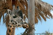 Closeup View Of Rothschild Giraffe At Enclosure In Zoo poster