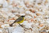 Yellow Wagtail Warble