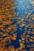 Multi-colored Maple Leaves On Wet Asphalt In Perspective. Beautiful Background Of Autumn Leaves. A R poster