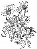 pic of helleborus  - Branch of Plant Helleborus niger on white background - JPG