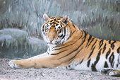 Tiger Imposingly Lies And Rests, Beautiful Powerful Big Tiger Cat (amur Tiger). Tiger Look. Big Cat. poster