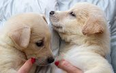 Two Cute Bright Puppies Are Sitting On The Hands Of A Person And With Their Faces To Each Other. Hom poster