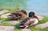 stock photo of duck egg blue  - Couple of Wild Ducks near the lake - JPG