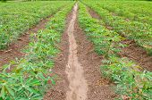 Cassava Or Manioc Plant Field