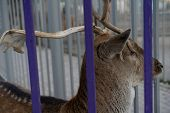Doe In The Zoo Looks Through The Cage poster
