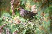 The Female Blackbird, Turdus Merula, Collects Food For Her Chicks. Blackbird Among Branches Of A Thu poster