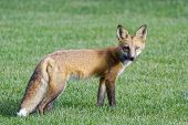 Red Fox Standing In A Field Of Grass. Colorado Wildlife poster