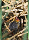 American Coot Baby Chick