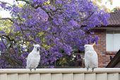 Sulphur-crested Cockatoos Seating On A Fence With Beautiful Blooming Jacaranda Tree Background. Urba poster