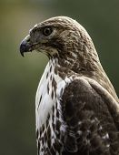 Close Up Portrait Of A Red-tailed Hawk (buteo Jamaicensis) In Profile With Out-of-focus Green Backgr poster