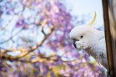 Sulphur-crested Cockatoo Seating On A Roof Near Beautiful Purple Blooming Jacaranda Tree. Urban Wild poster