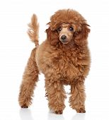 stock photo of poodle  - Red Toy Poodle puppy  - JPG