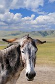 foto of burro  - A portrait of a gray burro with his ears down - JPG