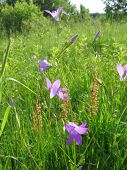stock photo of harebell  - harebell on the meadow in summer  - JPG