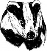 vector - badger head isolated on background