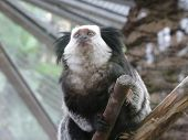 stock photo of marmosets  - Photo of a Marmoset in a zoo - JPG