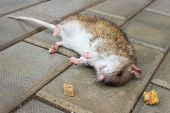 Redhead Rat Poisoned By Toxic Bait