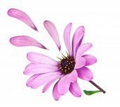 Flower Osteospermum With Fallen Petals Purple. Lost Love.