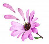 Flower Osteospermum With Fallen Petals Purple. Lost Love.